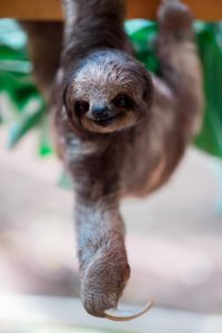 Sloth is one of the animals with the longest claws up to 4 inches