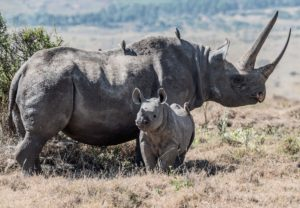Rhino with her baby