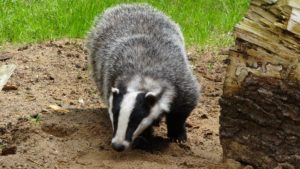 Badger is one of the animal with the longest claws of about 3 inches