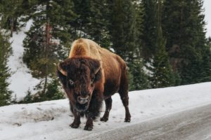 Bison are one of the tallest animals and stand up to 6 feet