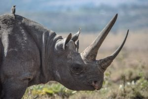 Black Rhino is one of the animals that would be extinct soon