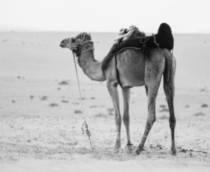 Camels have one of the longest legs and can grow up to 6 feet tall