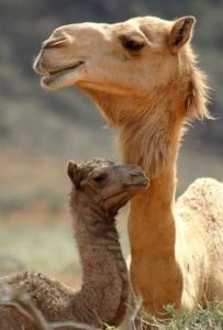 Camel with her baby camel