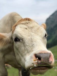 Cows have long and beautful eye;ashes attracting everybody