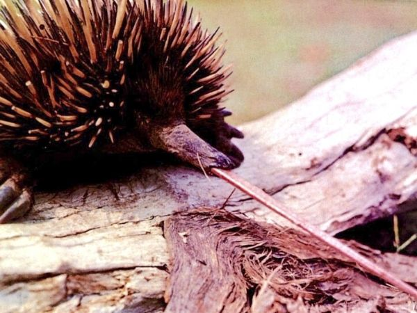 Echidnas sticking out their tongue to catch prey