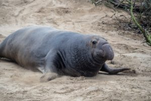 Elephant seal on the bank of sea