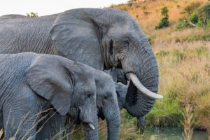 Elephants have the longest pregnancy period in the animal kingdom