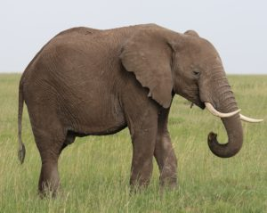 Elephants have one of the longest legs in the kingdom reaching up to 4 meters high