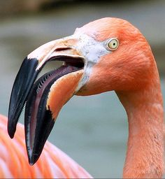 Flamingo with their spiny bristled tongue