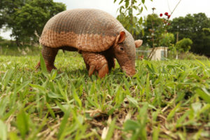 Giant Armadillo is the animal with the longest claws