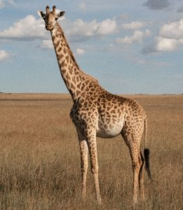 Giraffe is the animal with the longest legs in the animal kingdom