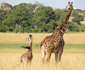 Giraffes have the pregnancy period of 460 days