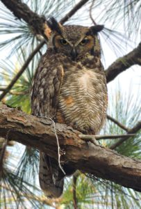 Great Horned Owl having 3 inches of claws which are one of the longest claws