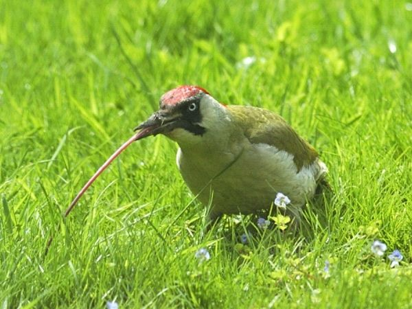 green woodpecker sitting on the ground