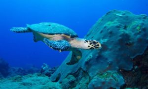 Hawksbill Turtle are one of the animals that would be extinct in the next few years
