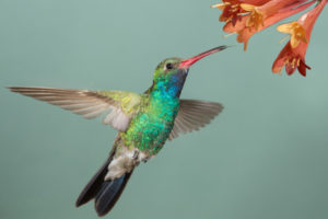 Hummingbird sucking nectar from flowers with its tongue