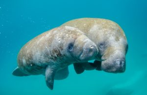 Manatee swimming with its calf.