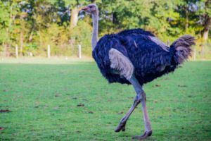 Ostriches can grow upto 9 feet tall, and are one of the longest birds in the animal kingdom