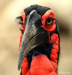 Southern Ground Horn bill with its long and pretty eyelashes