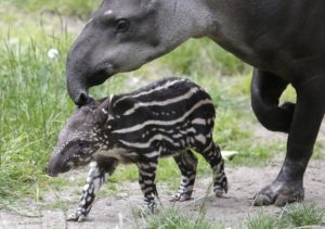 Tapirs bear their cubs for a period of over an year