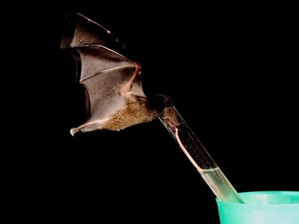 A tube lipped nectar bat sucking sugar juice from a test tube