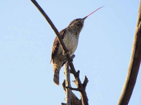 wryneck sitting on the branch of tree