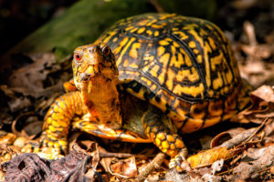 The Eastern Box Turtle is recorded to have a maximum reached an age of 138 years.