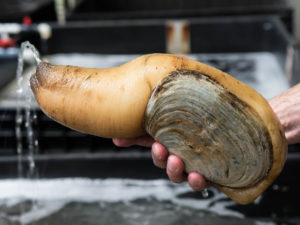 Geoduck is a clam with a lifespan of 160 years