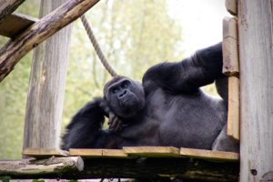 Western Gorillas have a lifespan of 35 years