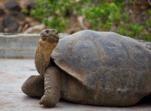 Harriet, the Galapagos tortoise lived for up to 175 years