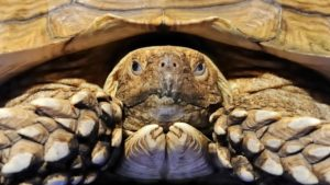 Spur Thigh tortoise have a lifespan of 130 years