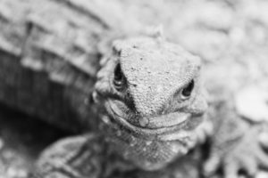 Tuatara is another beautiful creature that typically lives for 60-100 years.
