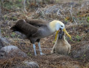 Wisdom has broken the record and become the oldest living bird species