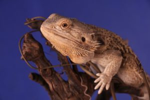 bearded dragons are very low maintenance pets and easy to take care of