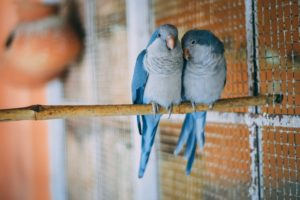 Being one of the low maintenance pets, budgies are small and easy to care for birds.