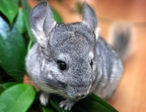 Chinchillas are low maintenance pets who are herbivores and require a rich fibre diet