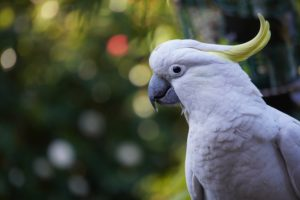 Umbrella Cockatoo is one of the most affectionate low maintenance pets you will come across