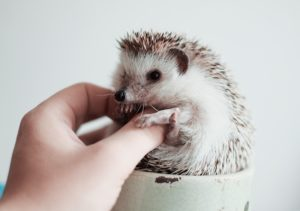Hedgehogs are really quiet pets, making them one of the best low maintenance pets for the office environment