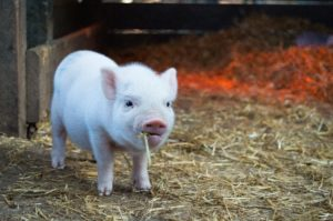 pot bellied pigs are one of the most affectionate low maintenance pets.