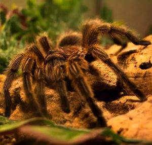 Tarantulas are quiet, low maintenance pets, who do not need a lot of space
