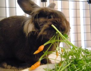 carrots are actually not good for your pet rabbit