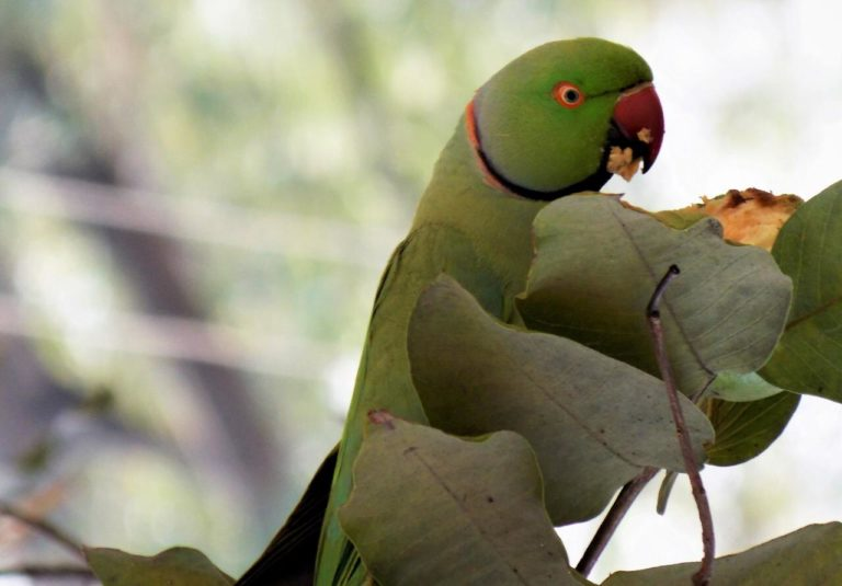 10 important steps of Breeding an Indian Ring-Necked Parakeet