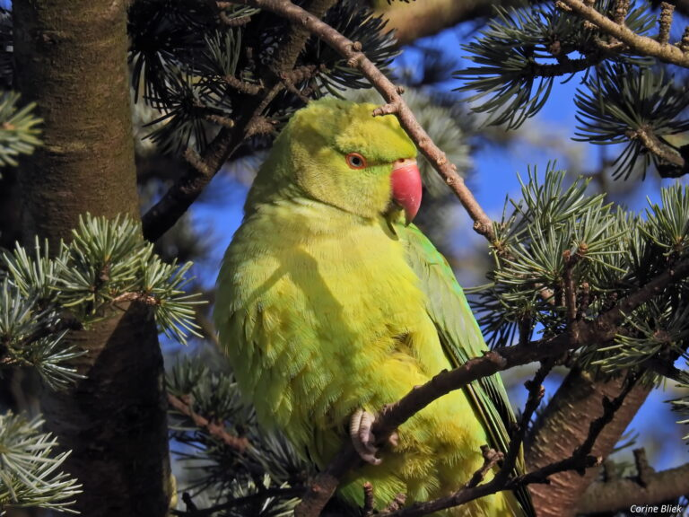 13 amazing facts about Indian Ring-Necked Parakeet as a pet