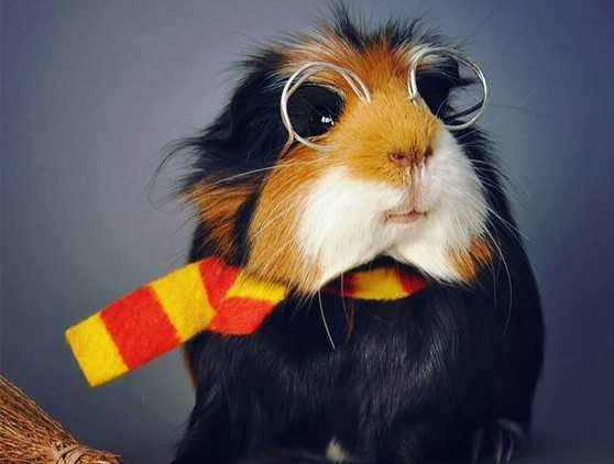 13 things you must know before getting Guinea pig as a pet