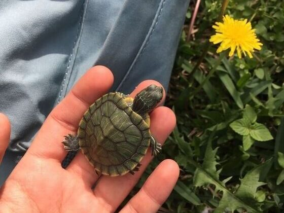 13 things to know before getting turtle as a pet