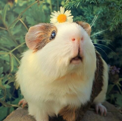 Guinea pigs as a pet hop repeatedly to show their happiness