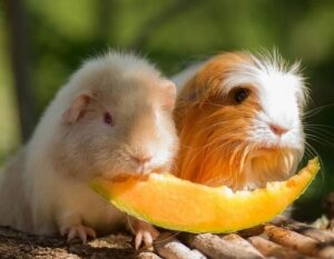 Guinea pig as a pet need a lot of Vitamin C in their diet