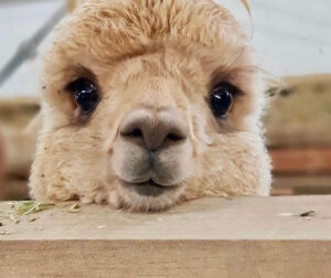 Alpacas are one of the animals with long and beautiful eyelashes