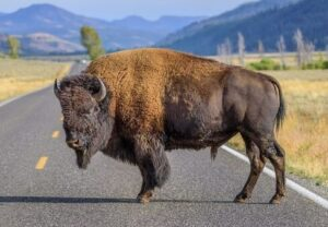 Bison are powerful species with long and strong legs