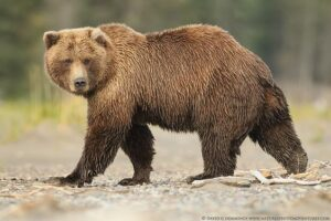 Brown bears are powerful species with long legs
